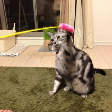 サバトラ猫猫じゃらしの猫画像