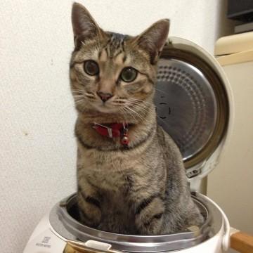 キジトラ猫炊飯器の猫画像