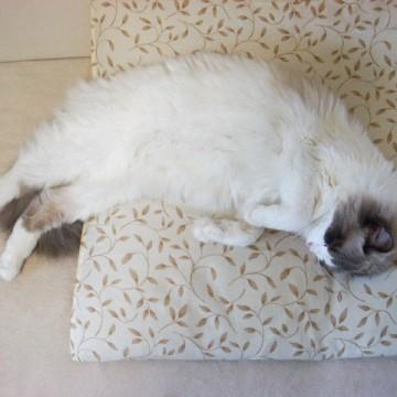 灰白猫昼寝座布団の猫画像