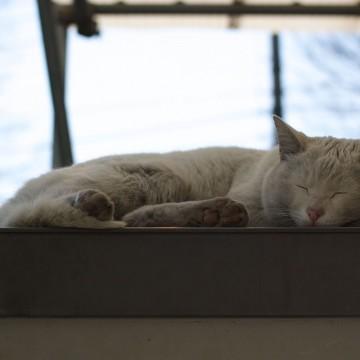 灰猫昼寝の猫画像