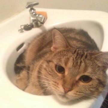 キジトラ猫洗面台の猫画像