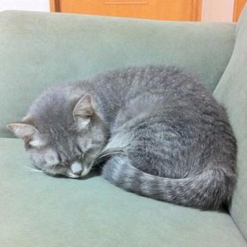 サビトラ猫昼寝ソファーの猫画像