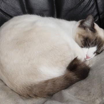 灰白猫昼寝の猫画像
