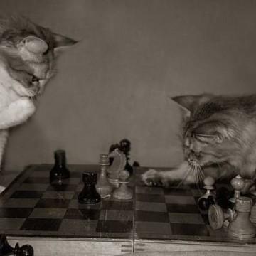 茶トラ白猫茶トラ猫チェスの猫画像