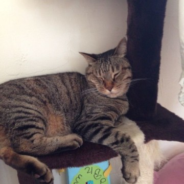キジトラ猫昼寝キャットタワーの猫画像