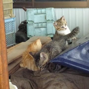 キジトラ猫キジトラ白猫茶トラ猫子猫の猫画像