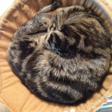キジトラ猫昼寝カゴの猫画像