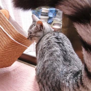 サバトラ猫カゴの猫画像