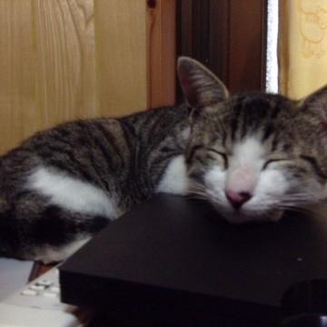 キジトラ白猫昼寝屋内の猫画像