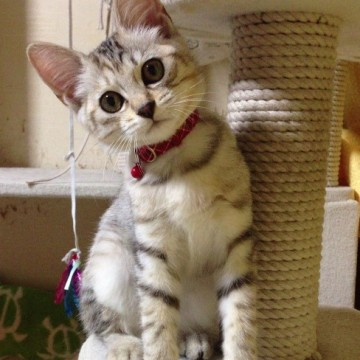 キジトラ猫子猫キャットタワーの猫画像