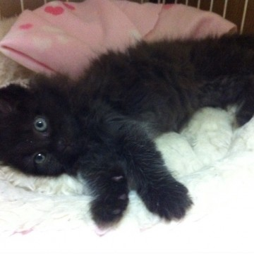 黒猫子猫ベッドの猫画像