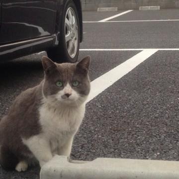 灰白猫駐車場の猫画像