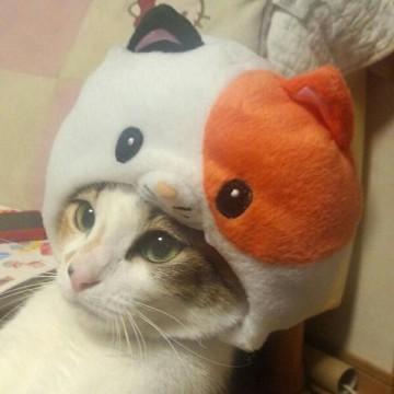 キジトラ白猫かぶりものの猫画像