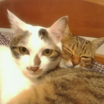 サバトラ白猫キジトラ猫ベッドの猫画像