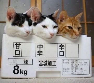 ハチワレ猫茶トラ猫箱の猫画像