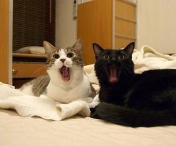 キジトラ白猫黒猫あくびの猫画像