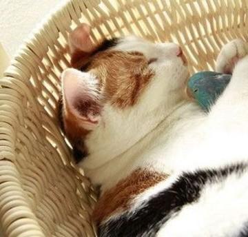 三毛猫昼寝カゴの猫画像