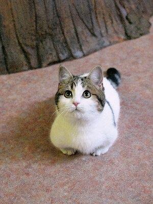 キジトラ白猫子猫屋内の猫画像