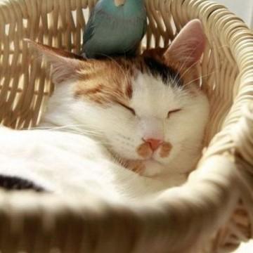 三毛猫昼寝鳥の猫画像