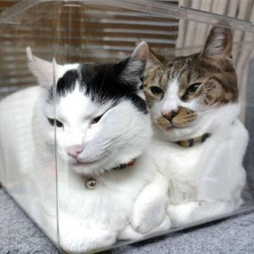 黒白猫キジトラ白猫クリアボックスの猫画像