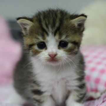キジトラ白猫子猫布団の猫画像
