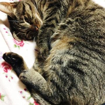 キジトラ猫昼寝の猫画像