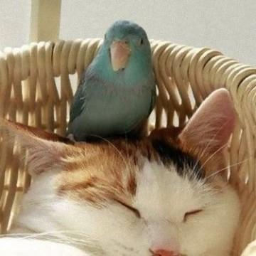 三毛猫昼寝インコの猫画像