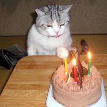 サバトラ白猫ケーキの猫画像