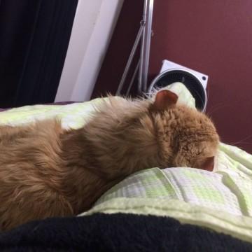 茶トラ猫子猫昼寝の猫画像