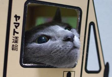 灰猫ヤマト運送の猫画像
