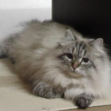 キジトラ猫屋内の猫画像