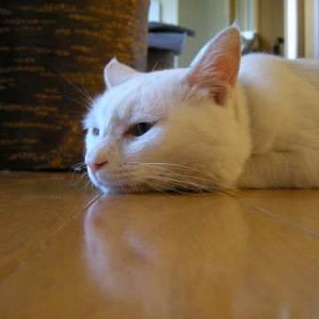 白猫屋内の猫画像
