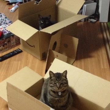 キジトラ猫黒猫ダンボールの猫画像