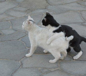 白猫ハチワレ猫子猫屋外の猫画像