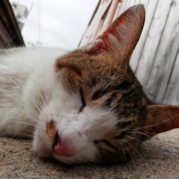 キジトラ白猫昼寝屋外の猫画像