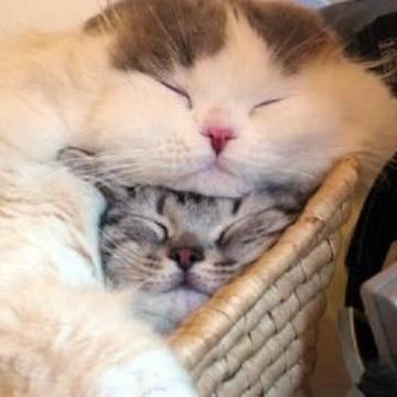 サバトラ猫ハチワレ猫子猫昼寝の猫画像