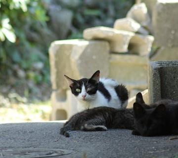 ハチワレ猫黒猫子猫屋外の猫画像