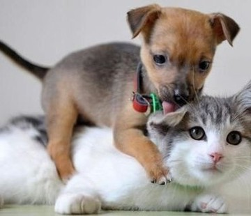 サバトラ白猫犬の猫画像