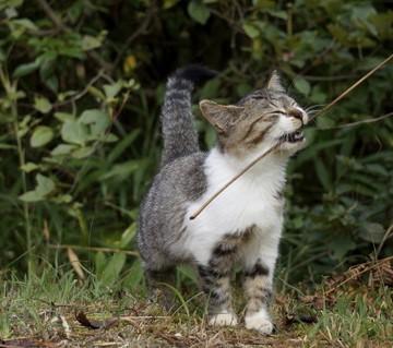 サバトラ白猫子猫屋外の猫画像