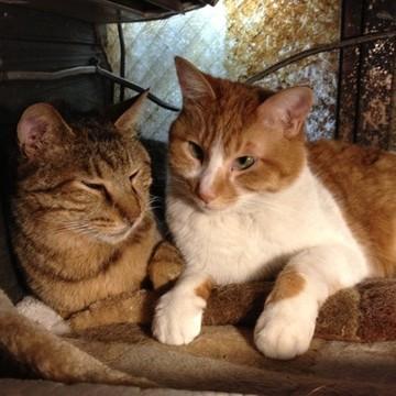 茶トラ白猫キジトラ猫毛布の猫画像
