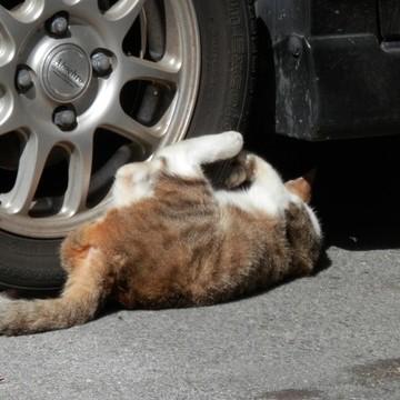 茶トラ白猫タイヤの猫画像