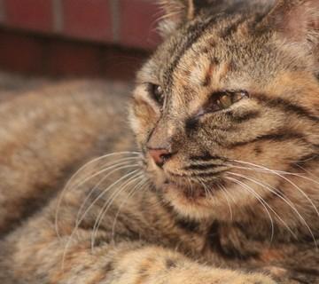 キジトラ猫屋外の猫画像