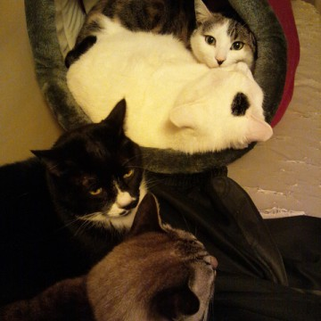 サバトラ白猫ハチワレ猫黒猫屋内の猫画像