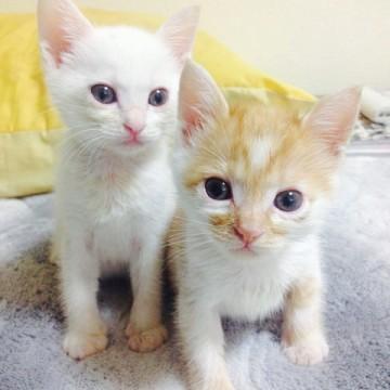 白猫茶トラ白猫子猫屋内の猫画像
