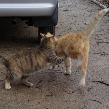 キジトラ猫茶トラ猫子猫喧嘩の猫画像