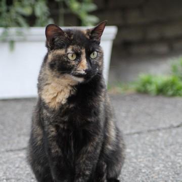 サビ猫屋外の猫画像