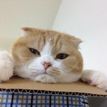 茶トラ白猫ダンボールの猫画像