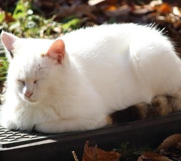 白猫屋外昼寝の猫画像