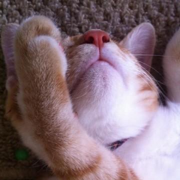 茶トラ白猫子猫昼寝の猫画像