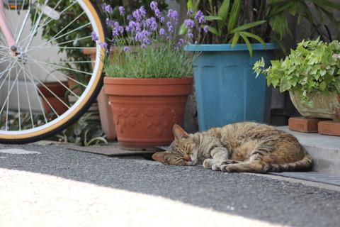 キジトラ猫昼寝屋外の猫画像